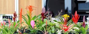 Bromélia, planta do mês de novembro