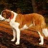 O São Bernardo, um cão grande e pachorrento