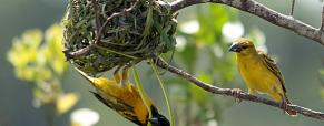 Os assombrosos ninhos dos pássaros tecelões