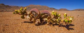 Curiosas plantas suculentas no deserto de Richtersveld