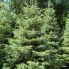 Abies nordmanniana, a árvore de Natal