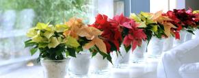 Poinsettia, a estrela do Natal