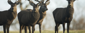 As renas e o seu papel durante o Natal