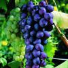 A tradição das uvas