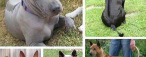 O Ridgeback Tailandês, um cão elegante e marcante