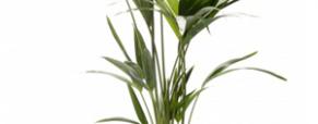 A planta do mês: Kentia
