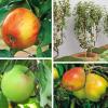 A poda das árvores de fruto