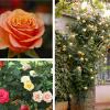 Como podar as suas roseiras