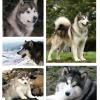 Cães: Malamute do Alaska