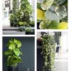 Planta do mês: Scindapsus