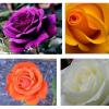 As rosas e a sua simbologia