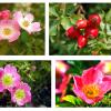 A Rosa Mosqueta