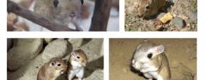 O rato-canguru do deserto