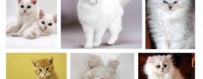 Gatos angorá