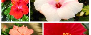 A Hibiscus e a Dipladênia