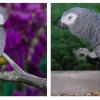 O papagaio-cinzento