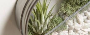 Tillandsia, a planta do ar
