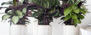 Planta do mês: Calathea