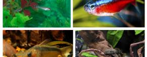 Os peixes amazónicos