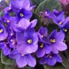 A Saintpaulia ou a Violeta africana
