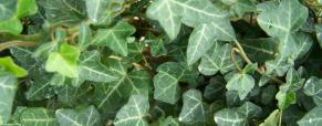 Plantas notáveis pelas suas folhas