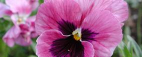 Plantas de outono: o crisântemo e o amor-perfeito