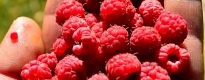 Framboesas, um fruto de contrastes no paladar