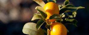 Coloque uma fruteira no seu jardim