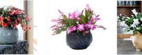 Planta do mês: Cactus de Natal