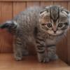 Highland Fold, um gato de orelhas tristes
