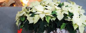 A Poinsettia, indispensável no lar durante esta festividade