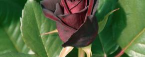 Black Baccara, a rosa mais procurada