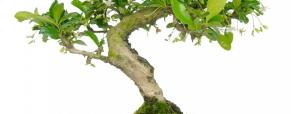 O bonsai, história de uma árvore em vaso