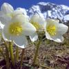 Helleborus: floração invernal