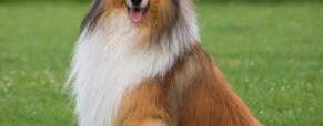A raça de cães Collie