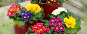 Planta do mês: Prímula