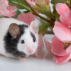 O rato chino ou rato Mickey