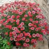 Promoção Cartão Cliente em março: Argyranthemum
