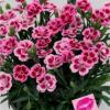 A Dianthus Pink Kisses