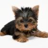 O Terrier mais famoso, o Yorkshire Terrier