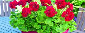 O gerânio: flores do passado e presente