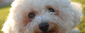 5 Raças de cães pequenos e suas curiosidades