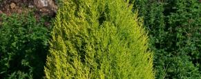 Cupressus macrocarpa wilma, o cipreste limão