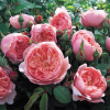 Ainda não conhece as cobiçadas roseiras inglesas de David Austin®?