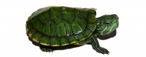 10 Curiosidades sobre as tartarugas que não conhecia…