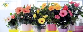 Planta do mês: Hibiscus ou Rosa da China