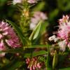 A flor de Hebe ou Verónica, uma explosão de cor