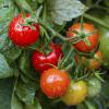 No verão, regue corretamente os tomates