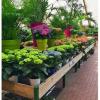 Planta de Abril: Hortênsia