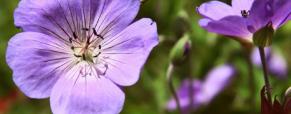 Plantas perenes para jardins exuberantes